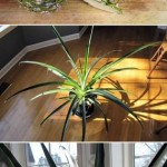 Quick Tip: Pineapple Plant!